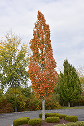 Armstrong Maple (Acer x freemanii 'Armstrong') at Green Glen Nursery