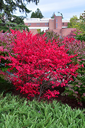 Compact Winged Burning Bush (Euonymus alatus 'Compactus') at Green Glen Nursery