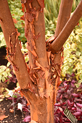 Paperbark Maple (Acer griseum) at Green Glen Nursery