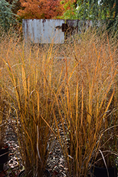 Northwind Switch Grass (Panicum virgatum 'Northwind') at Green Glen Nursery