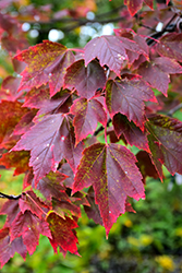 Red Sunset Red Maple (Acer rubrum 'Red Sunset') at Green Glen Nursery