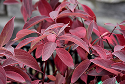 Arctic Fire® Red Twig Dogwood (Cornus sericea 'Farrow') at Green Glen Nursery