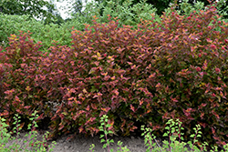 Amber Jubilee™ Ninebark (Physocarpus opulifolius 'Jefam') at Green Glen Nursery