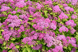 Magic Carpet Spirea (Spiraea x bumalda 'Magic Carpet') at Green Glen Nursery