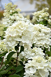 Diamond Rouge® Hydrangea (Hydrangea paniculata 'Rendia') at Green Glen Nursery