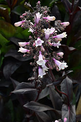 Dark Towers Beard Tongue (Penstemon 'Dark Towers') at Green Glen Nursery