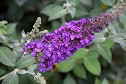 Miss Violet Butterfly Bush (Buddleia 'Miss Violet') at Green Glen Nursery