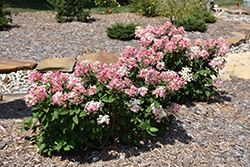 Little Quick Fire® Hydrangea (Hydrangea paniculata 'SMHPLQF') at Green Glen Nursery
