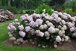 Incrediball® Blush Smooth Hydrangea (Hydrangea arborescens 'NCHA4') at Green Glen Nursery