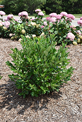 Low Scape® Hedger Aronia (Aronia melanocarpa 'UCONNAM166') at Green Glen Nursery