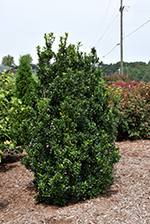 Castle Wall® Meserve Holly (Ilex x meserveae 'Heckenstar') at Green Glen Nursery