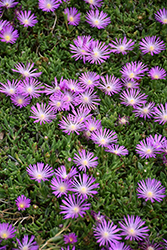 Table Mountain Ice Plant (Delosperma 'John Proffitt') at Green Glen Nursery