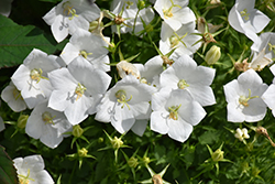 White Clips Bellflower (Campanula carpatica 'White Clips') at Green Glen Nursery