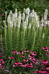Floristan White Blazing Star (Liatris spicata 'Floristan White') at Green Glen Nursery