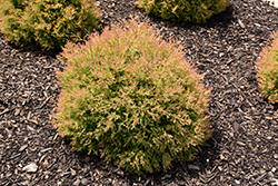 Fire Chief™ Arborvitae (Thuja occidentalis 'Congabe') at Green Glen Nursery