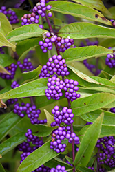 Issai Beautyberry (Callicarpa dichotoma 'Issai') at Green Glen Nursery