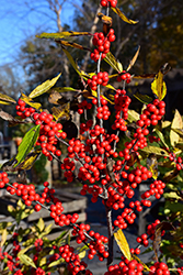 Winterberry (Ilex verticillata) at Green Glen Nursery