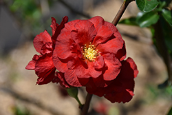Double Take Scarlet™ Flowering Quince (Chaenomeles speciosa 'Double Take Scarlet Storm') at Green Glen Nursery