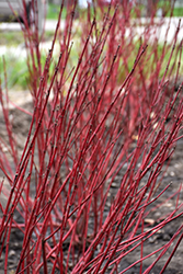 Baton Rouge™ Dogwood (Cornus alba 'Minbat') at Green Glen Nursery