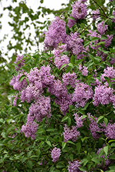 Persian Lilac (Syringa x persica) at Green Glen Nursery