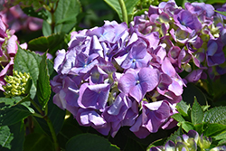 L.A. Dreamin'® Hydrangea (Hydrangea macrophylla 'Lindsey Ann') at Green Glen Nursery