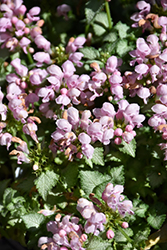 Pink Pewter Spotted Dead Nettle (Lamium maculatum 'Pink Pewter') at Green Glen Nursery