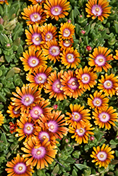Fire Spinner Ice Plant (Delosperma 'Fire Spinner') at Green Glen Nursery