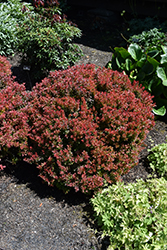 Golden Ruby Barberry (Berberis thunbergii 'Goruzam') at Green Glen Nursery